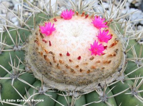 Melocactus alex-bragae