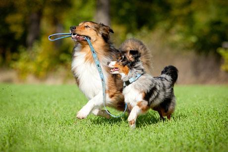 Collie führt anderen Hund an der leine