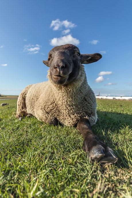Cooles Schaf auf dem Deich