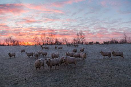 Schafe auf dem Deich im Winter in Hooksiel am Jadebusen
