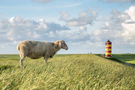 Schaf und Pilsumer Leuchtturm in Ostfriesland.