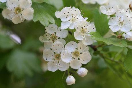 Weißdornblüten - Herzpflanze