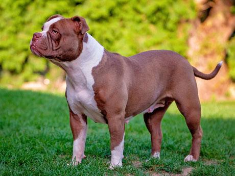 Exotic Bully / Exotic Bulldog