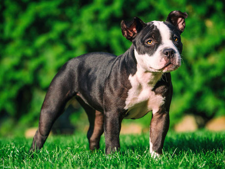 Exotic Bully / Exotic Bulldog