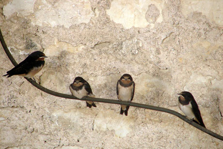 True swallows of the collegial one