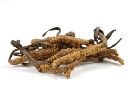 Vitalpilz Cordyceps sinensis