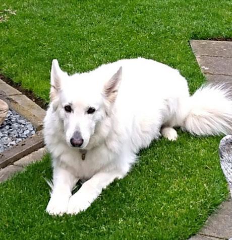 verstorbene weiße Schäferhündin Fay, Foto vom Halter