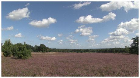 Lueburger Heide Heideblüte im Schneverdinger Höpen