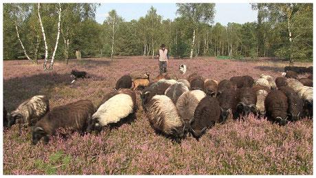 Schneverdingen Reinsehlen Schäfer mit seiner Herde