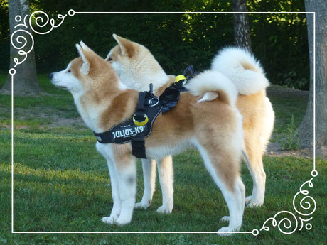 Japan Akita, Umeko of Kishi Ken, Rosia Kare Eikan, Hund, Hundezucht, Zucht, Strandcamping, Waging am See, Traunstein