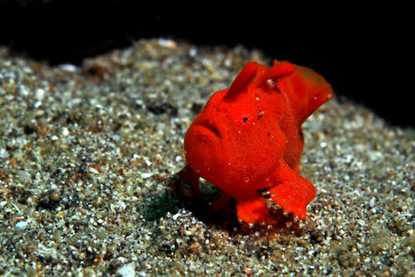 Frogfish juvenile rouge sur le site de plongée de secret patch à Padang Bai, Bali