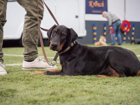 Commando 'handtouch', waarbij de hond de neus tegen de hand van de baas plaatst