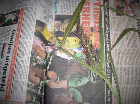Echinochloa wordt ingelegd voor het Herbarium
