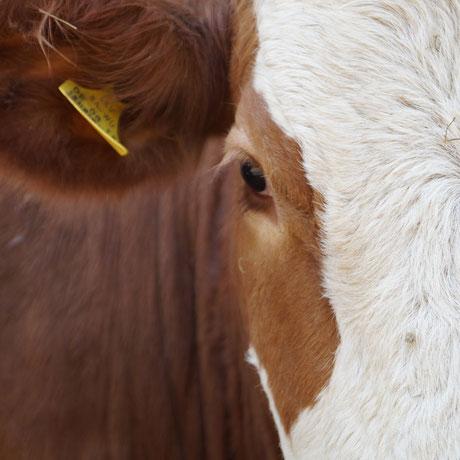 Bild: Kuh auf dem Hof der Familie Richard Renner in Hausen ob Lontal - Hofbauer Hausen - Milchviehbetrieb - Erzeuger - Rohmilch - frische Milch kaufen - Region