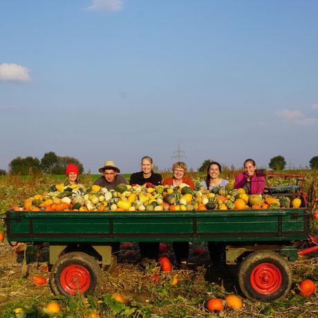 Bild: Kürbisse im Anhänger auf dem Kürbisfeld der Familie Richard Renner aus Hausen ob Lontal - Kürbis - Speisekürbis - Zierkürbis - Traktor - Ernte - kaufen - region