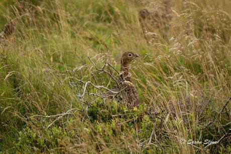 Red Grouse (Schottisches Moorhuhn)