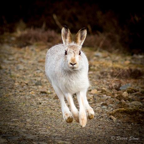 Scottish Blue Hare - Winter