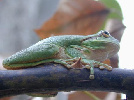grenouille - Lyzzz
