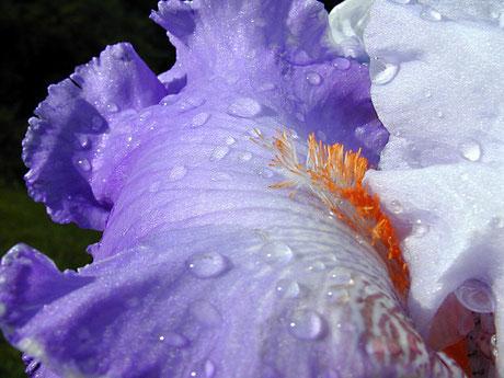 iris - Lyzzz