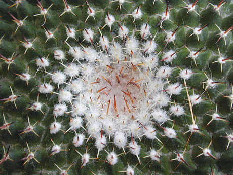 cactus - Lyzzz
