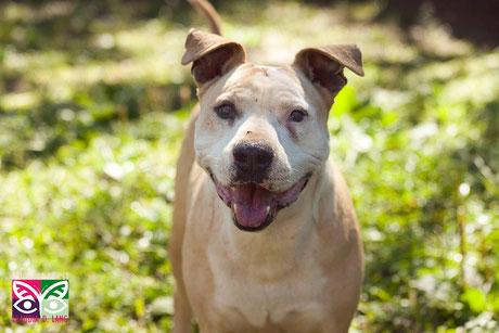 Barak, pit bull para adoção, 10 anos (7anos na ONG), gostaria de carinho e amor...