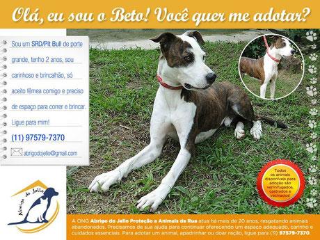 Adoção de cão: Adote o pit Bull Beto! abrigodojello@gmail.com