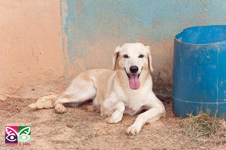 Adote o Brad, 12 anos, Mistura Labrador, saudável e ama de agua!