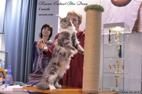 Kuniza Cacharel Blue Dream 8 months
