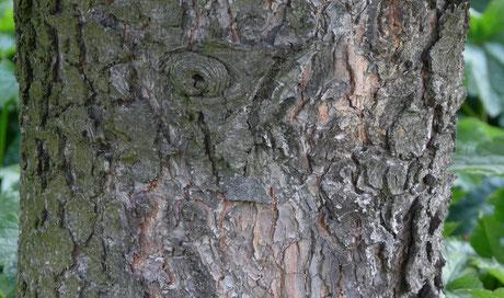Dans le jardin, il y a un pin... Et le pin a un tronc...