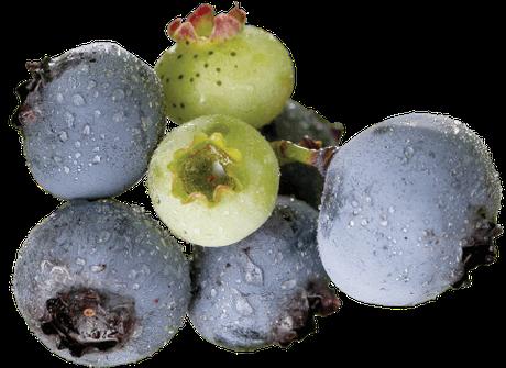 写真:ブルーベリーガーデンアツミのブルーベリー
