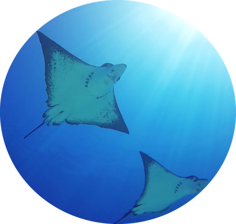 School of eagle rays are often observed in the lagoon of Bora Bora.