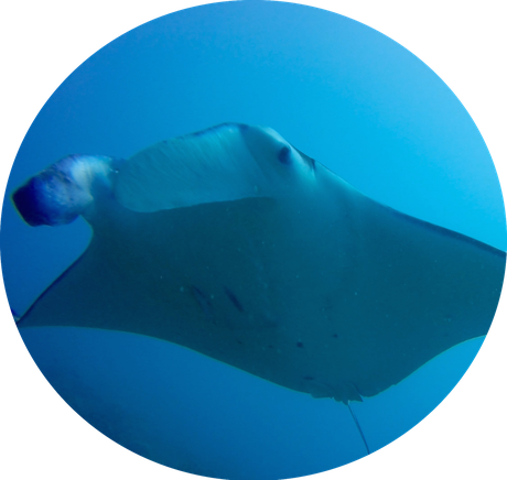Mantaray are Bora Bora's idol. Fun Dive in BOra Bora