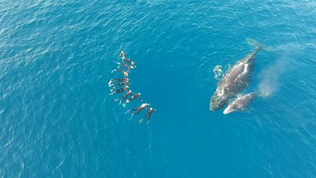 Tourisme durable d'observation passive d'une baleine et son baleineau dans l'eau-Duocean