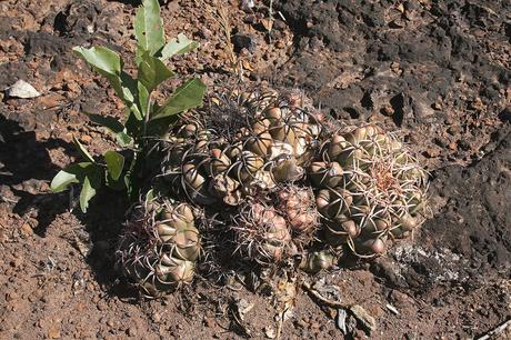 Discocactus cangaensis am Typstandort / type locality / localidade do tipo