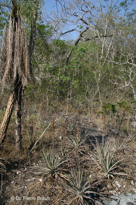 Dyckia splendida Typstandort / type habitat / habitat do tipo