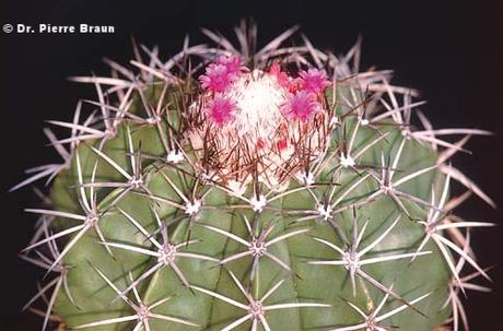 Melocactus violaceus ssp. natalensis, Pflanze aus Holotypaufsammlung / plant of holotype collection / planta da coleção de holótipo, Rio Grande do Norte