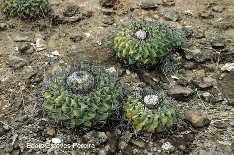 Discocactus diersianus, Goiás 2006