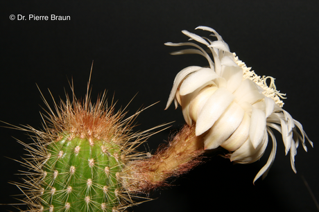 Arthrocereus spinosissimus, vom Typstandort/from type habitat / do habitat do tipo