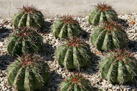 Melocactus braunii, Jungpflanzen aus der Holotypaufsammlung / juvenile plants of holotype collection / plantas juvenis da coleção de holótipo