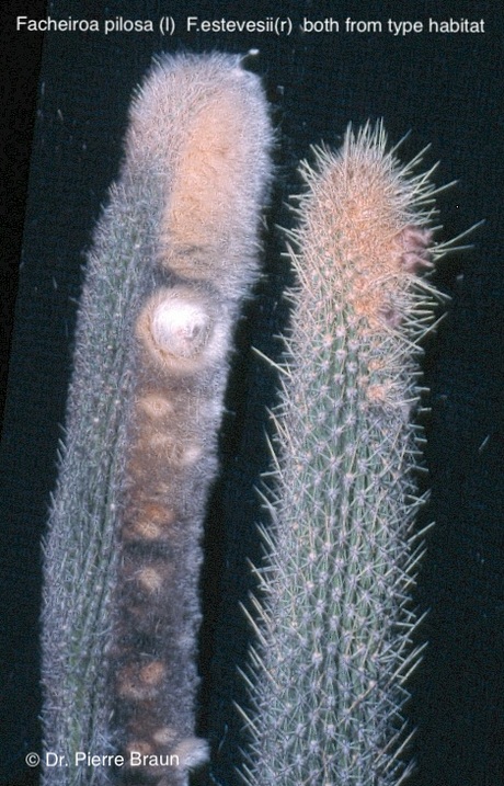 Facheiroa pilosa (L) Facheiroa estvesii (R) von den Typstandorten / from type habitats / do habitat  do tipo: unterschiedlich in Bedornung, Cephalium, Knospe / different in spination, cephalium and bud / diferente em espinhação, cefálio e broto