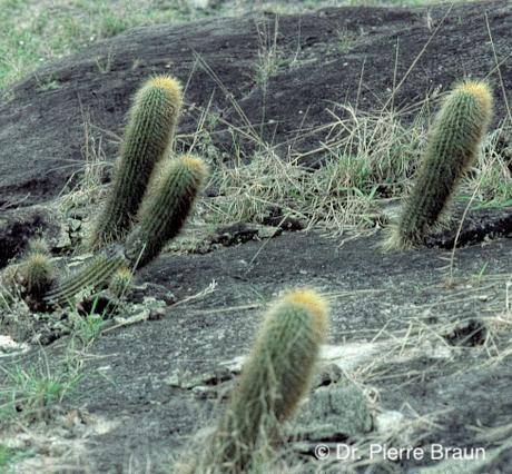Coleocephalocereus estevesii am Typstandort / type locality / localidade do tipo Minas Gerais 1983
