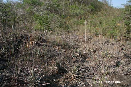 Dyckia splendida Typstandort / type habitat / habitat do tipo 2007