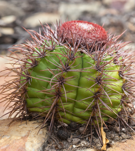 Melocactus heimenii am Typstandort / at type locality
