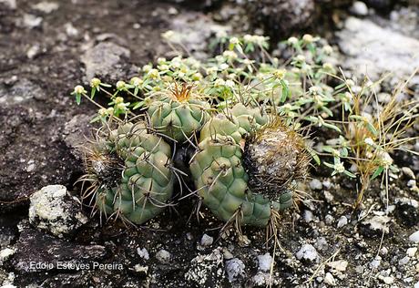 Discocactus squamibaccatus am Typstandort / type habitat / habitat do tipo