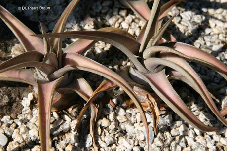Dyckia paucispina, Pflanzen aus Holotypaufsammlung / plants of holotype collection / plantas da coleção de holótipo