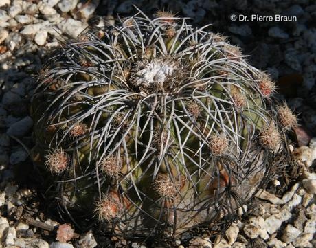 Discocactus bahiensis ssp. gracilis, Pflanze aus Holotypaufsammlung / plant of holotype Collection / planta da coleção de holótipo