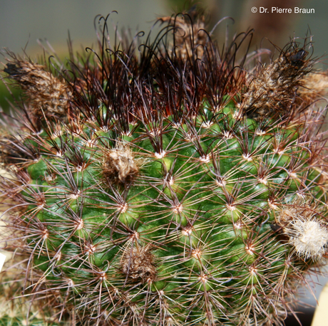 Parodia alacriportana ssp. brevihamata vom Typstandort / from type habitat / do habitat do tipo