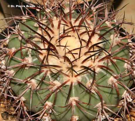 Discocactus diersianus in Kultur / cultivation / cultivação