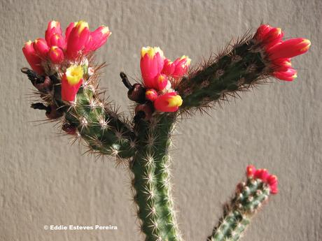 Arrojadoa dinae ssp. nana in Kultur / in cultivation / em cultivação