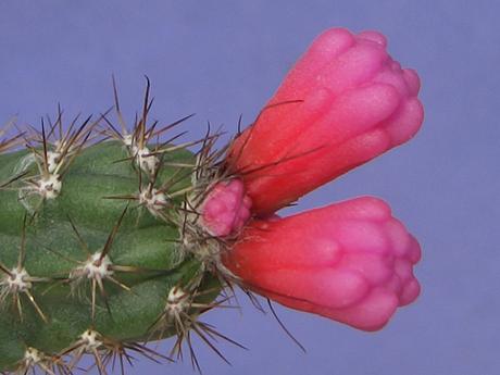 Arrojadoa rhodantha ssp. reflexa